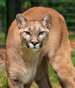 cougar-275945_640